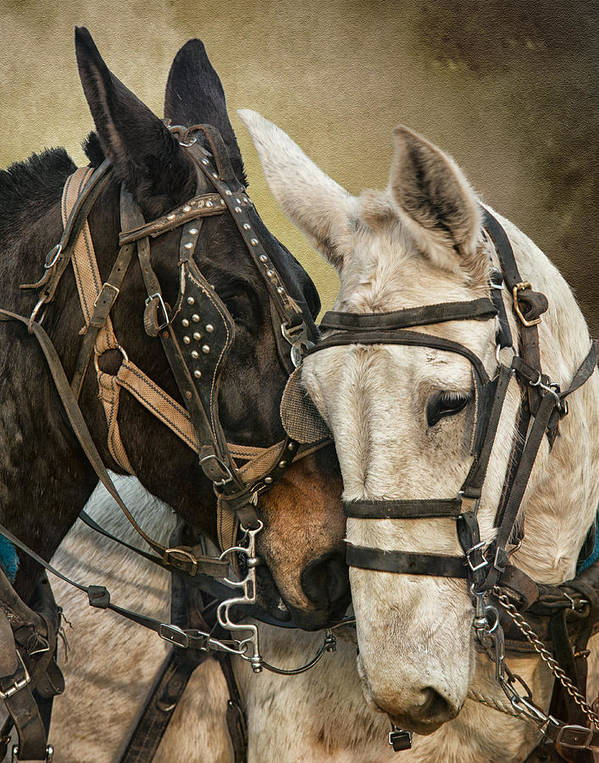 Equine Poster featuring the photograph Ebony And Ivory by Ron McGinnis