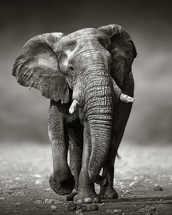 Elephant poster featuring the photograph elephant approach from the front by johan swanepoel