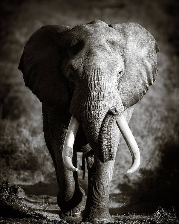 Elephant Poster featuring the photograph Elephant Bull by Johan Swanepoel