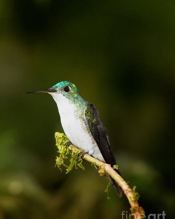 Ecuador Poster featuring the photograph Emerald Brilliant by Todd Bielby