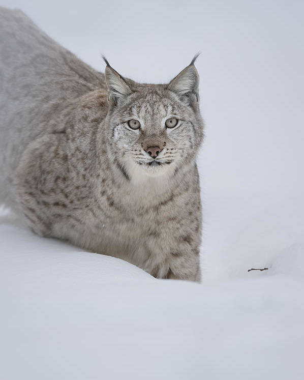 Animal Poster featuring the photograph Eurasian Lynx by Andy Astbury