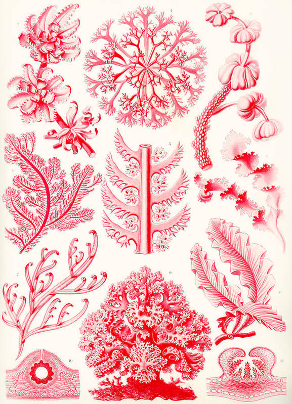 Vertical; Zoology; Zoological; Science; Scientific; Scientist; Biology; Botany; Detail; Detailed; Drawing; Animal; Animals; Plant; Plants; Study; Life; Form; Kunstformen; Art; Lithograph; Lithographic; German; European; Europe; Nature; Natur; Engraving; Engraved; No People; Biologist; Famous; Autotype; Prints; Printing; Organisms; Sketch; Print; Illustrations; Symmetry; Symmetric; Symmetries; Colorful; Colors; Colors; Organization; Organisation; Plates; Microscopic; Microscopist; Red Poster featuring the painting Examples Of Florideae From Kunstformen Der Natur by Ernst Haeckel