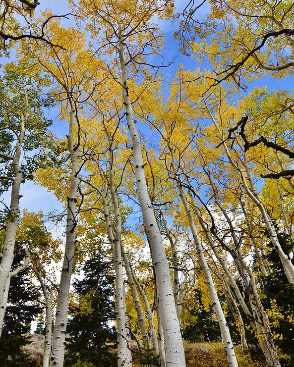 Fall Poster featuring the photograph Fall Aspens by David Knowles