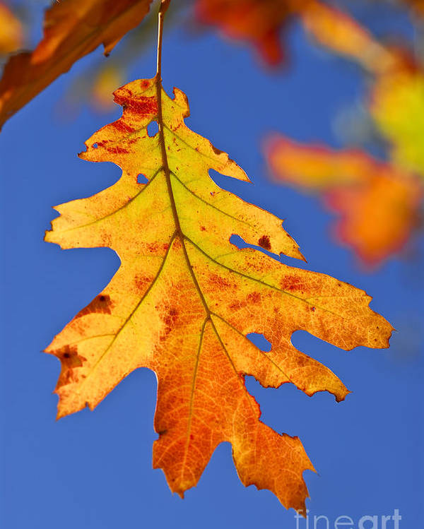 Autumn Poster featuring the photograph Fall Oak Leaf by Elena Elisseeva