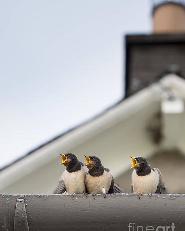 Hirundo Rustica Poster featuring the photograph Feed Me by Tim Gainey