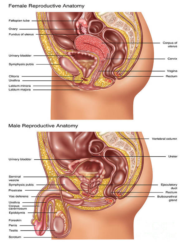 Female & Male Reproductive Anatomy Poster by Gwen Shockey