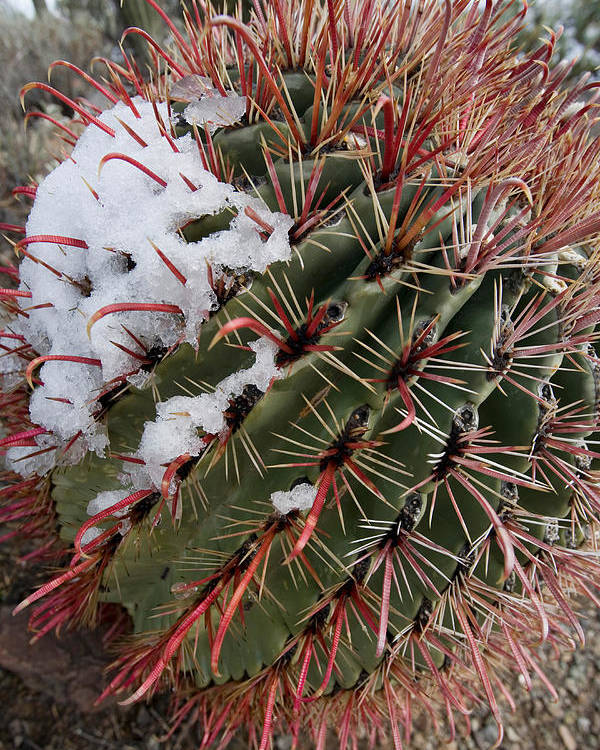 Fishhook Poster featuring the photograph Fish Hook Barrel Cactus With Snow by Susan Degginger