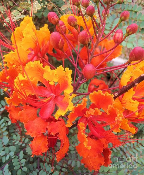 Flower Poster featuring the photograph Flamboyant Desert Flowers by Tahlula Arts