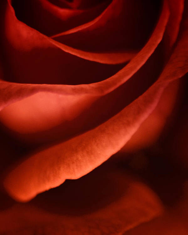Rose Poster featuring the photograph Spirit Of Flamenco by Priya Saihgal