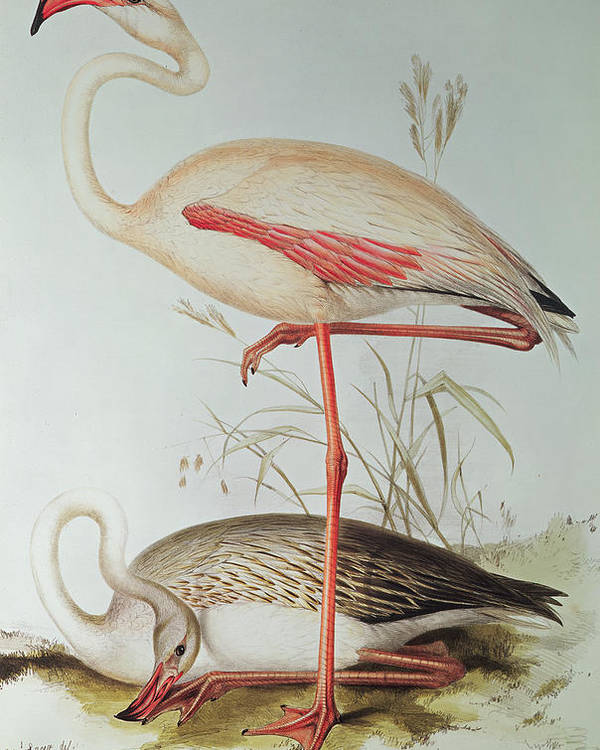 Flamingoes Poster featuring the painting Flamingo by Edward Lear