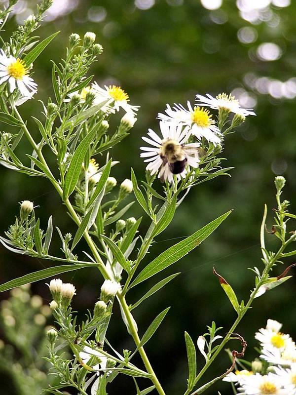 Bee Poster featuring the photograph Fleabane Bee by David Addams