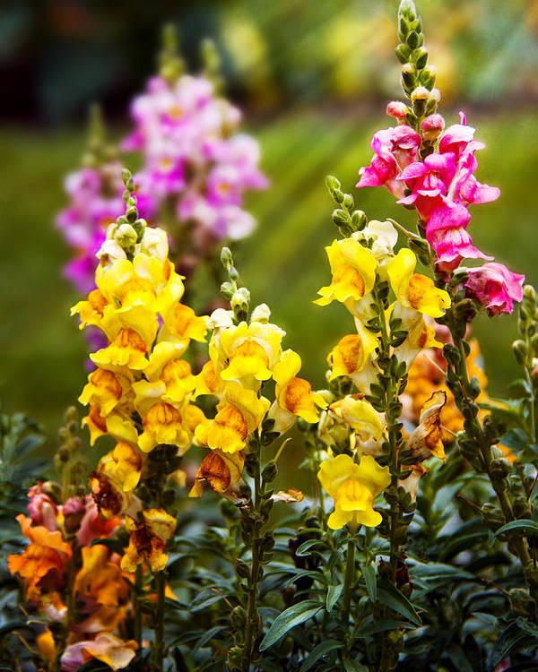 Antirrhinum Poster featuring the photograph Flower - Antirrhinum - Grace by Mike Savad