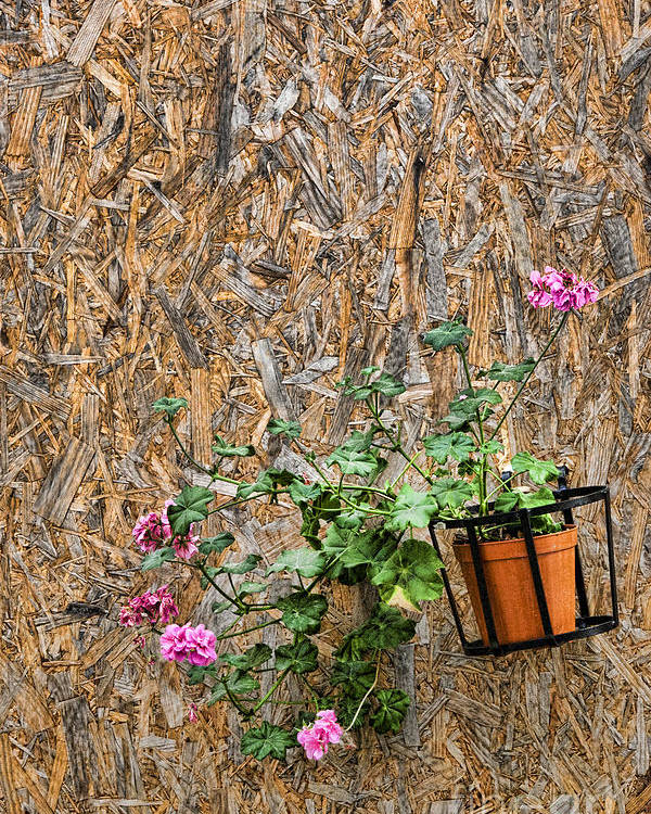 Sicily Poster featuring the photograph Flowers On Wall - Taromina by David Smith