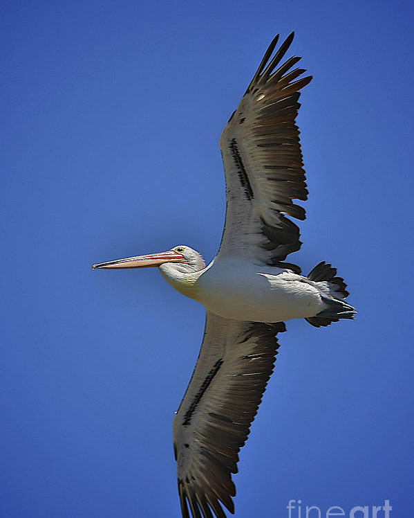 Pelican Poster featuring the photograph Flying Pelican 3 by Heng Tan