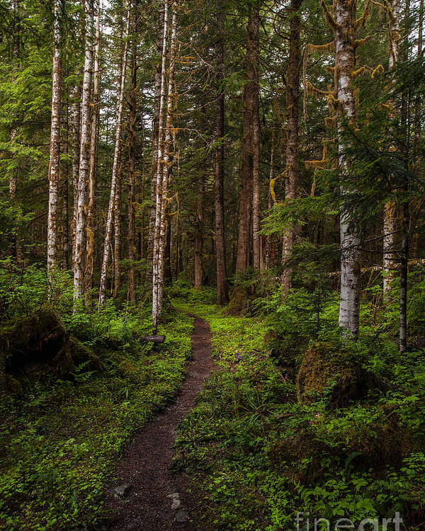 Northwest Poster featuring the photograph Forest Alder Path by Mike Reid