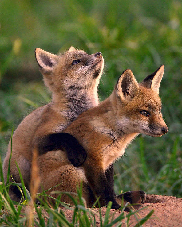 Fox Poster featuring the photograph Fox Cub Buddies by William Jobes