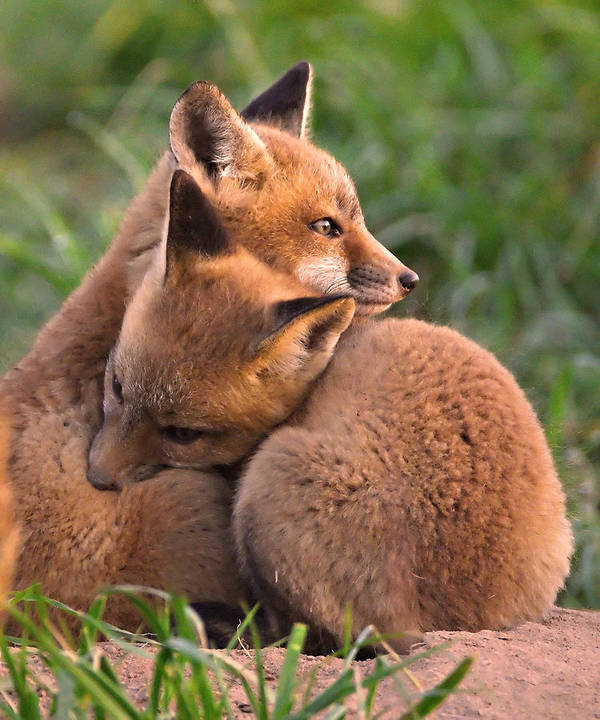 Fox Poster featuring the photograph Fox Cubs Cuddle by William Jobes