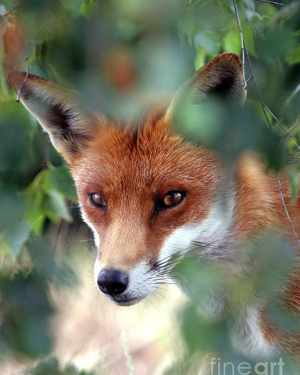 Red Poster featuring the photograph Fox Through Trees by Tim Gainey