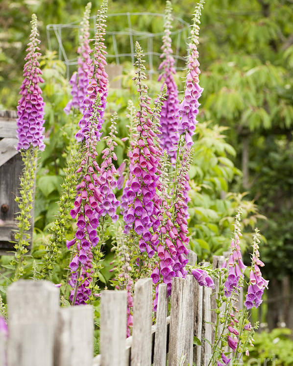 Foxglove Poster featuring the photograph Foxglove Fence by Anne Gilbert