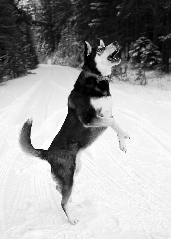 Dog Poster featuring the photograph Frolicking In The Snow - Black And White by Carol Groenen