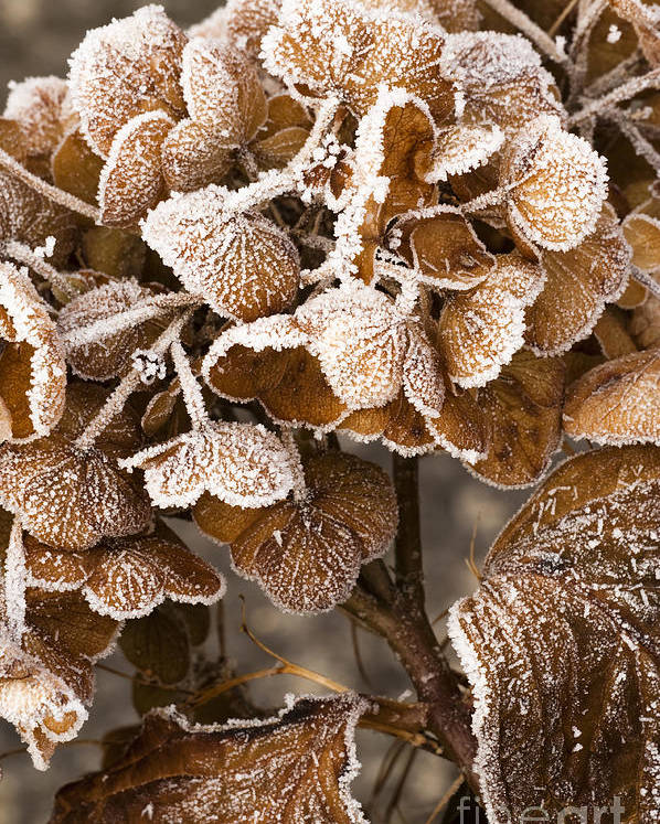 Frosted Poster featuring the photograph Frosted Hydrangea by Anne Gilbert