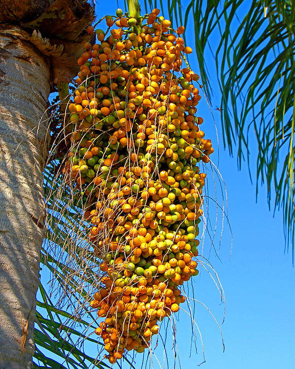 Palm Poster featuring the photograph Fruit Of The Queen Palm by Donna Proctor