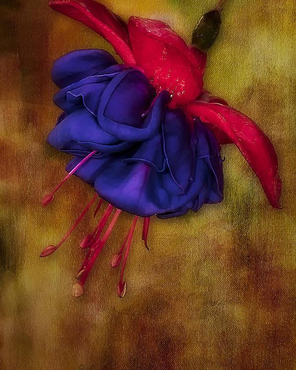 Fuschia Poster featuring the photograph Fuschia Flower by Susan Candelario