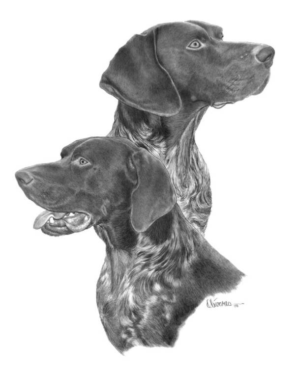 Pencil Drawing Print Poster featuring the drawing German Short-hair Pointer by Joe Olivares