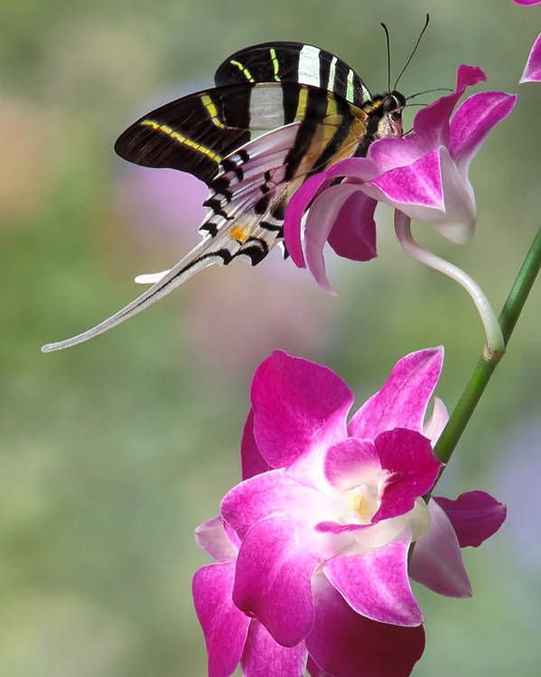 Bug Poster featuring the photograph Giant Swordtail Butterfly Graphium Androcles On Orchid by Robert Jensen