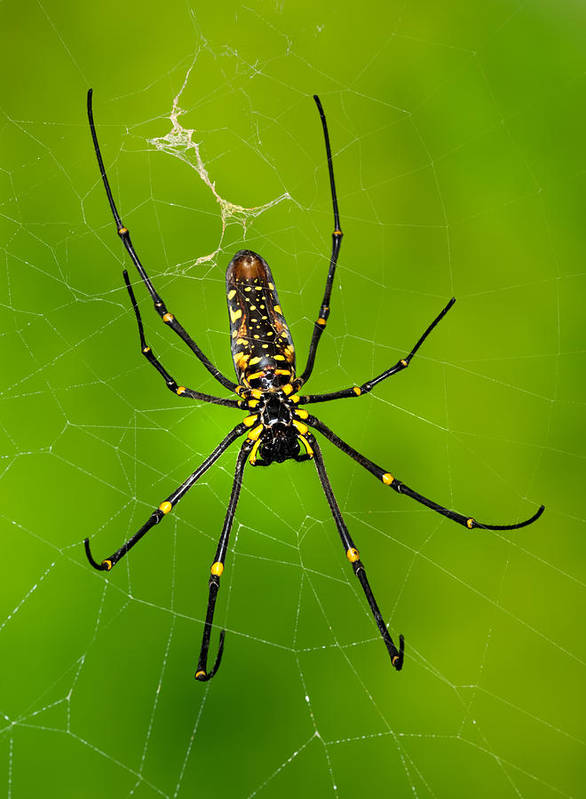 Orb Spider Poster featuring the photograph Giant Wood Orb Spider by Robert Jensen