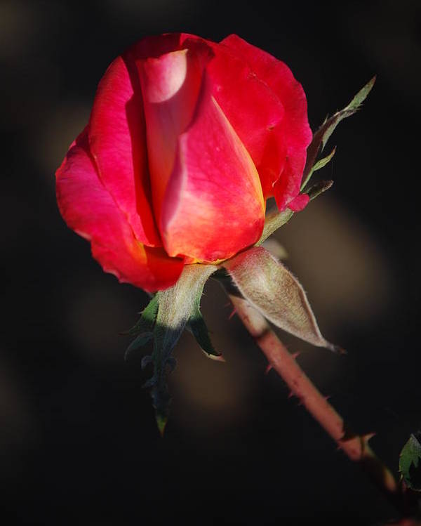 Red Rose Poster featuring the photograph Gift Of Love by Billie Colson