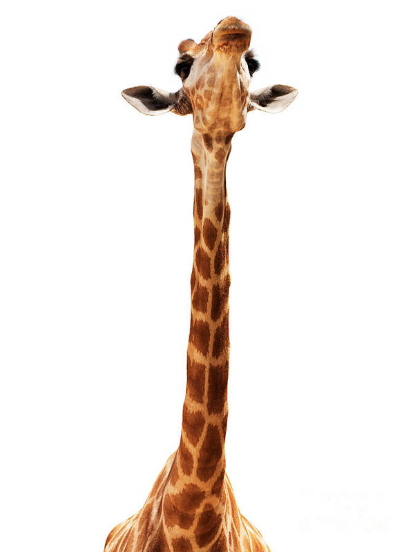 Africa Poster featuring the photograph Giraffe Head Isolate On White by Mythja Photography