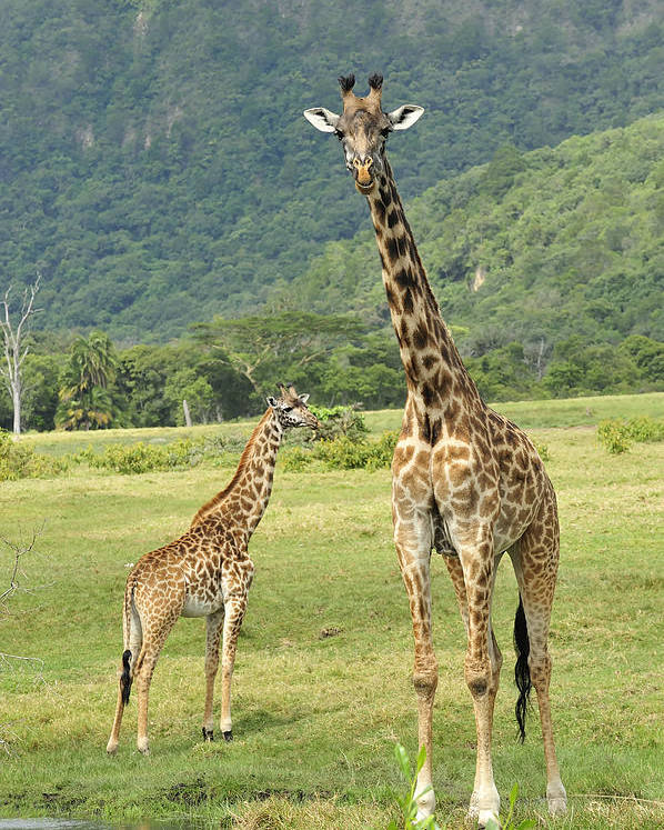 Thomas Marent Poster featuring the photograph Giraffe Mother And Calftanzania by Thomas Marent