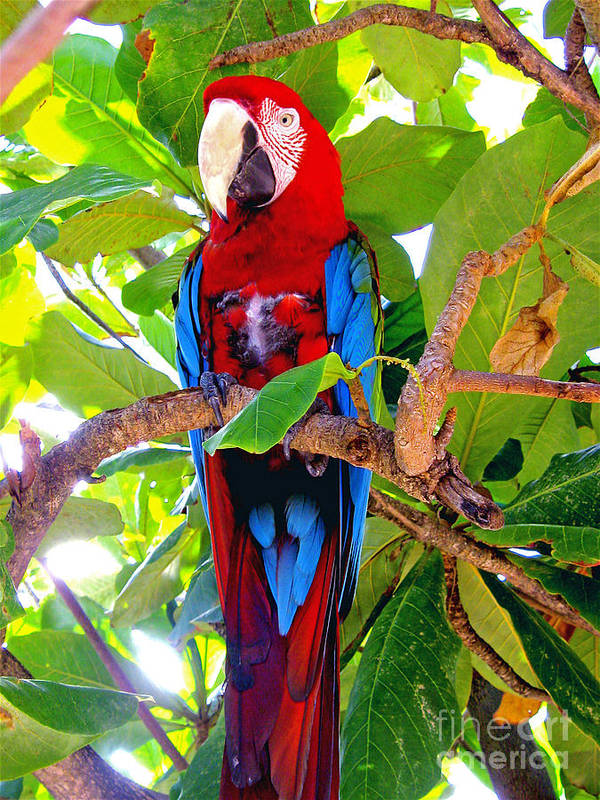 Macaw Poster featuring the photograph Gizmo the Macaw by Jerome Stumphauzer