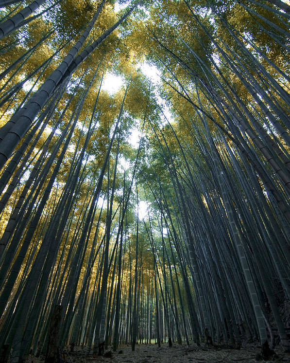 Bamboo Poster featuring the photograph Golden Bamboo Forest by Aaron Bedell