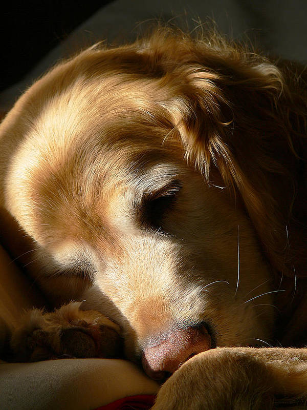 Golden Retriever Poster featuring the photograph Golden Retriever Dog Sleeping In The Morning Light by Jennie Marie Schell