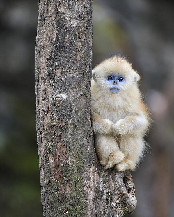 Golden Snub Nosed Monkey Young China Poster By Thomas Marent