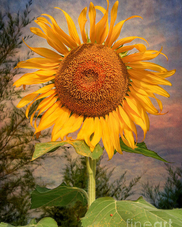 Hdr Poster featuring the photograph Golden Sunflower by Adrian Evans