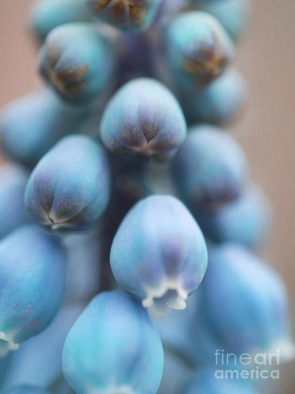 Fine Art Close Up Grape Hyacinth Poster featuring the photograph Graceful Nod by Irina Wardas