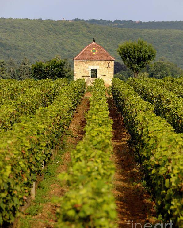 Architectures  Poster featuring the photograph Grapevines. Premier Cru Vineyard Between Pernand Vergelesses And Savigny Les Beaune. Burgundy. Franc by Bernard Jaubert