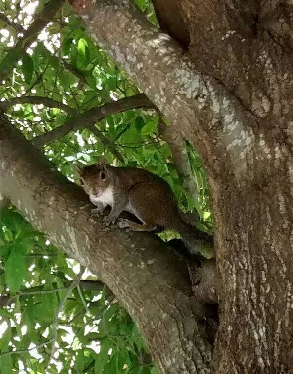 Gray Squirrel Poster featuring the photograph Gray Squirrel by Zech Browning