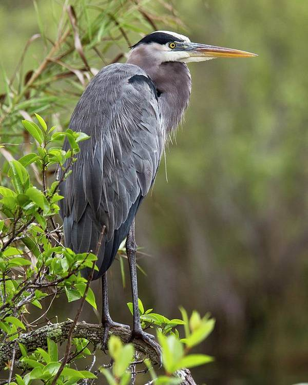 Nobody Poster featuring the photograph Great Blue Heron by Bob Gibbons