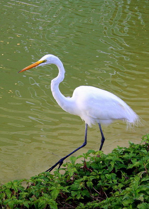Great Poster featuring the photograph Great Egret by Laurel Talabere