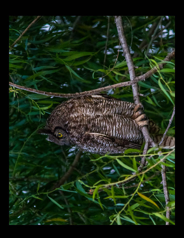 Yosemite Poster featuring the photograph Great Horned Owl by Brian Williamson