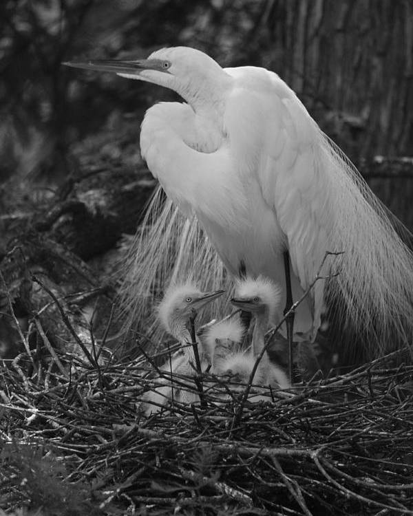 Photograph Poster featuring the photograph Great White Egret Mom And Chicks In Black Ans White by Suzanne Gaff