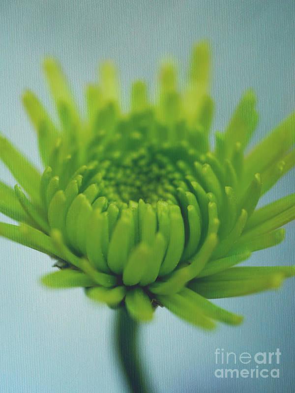 Green Daisy Pomps Poster featuring the photograph Green Light by Irina Wardas