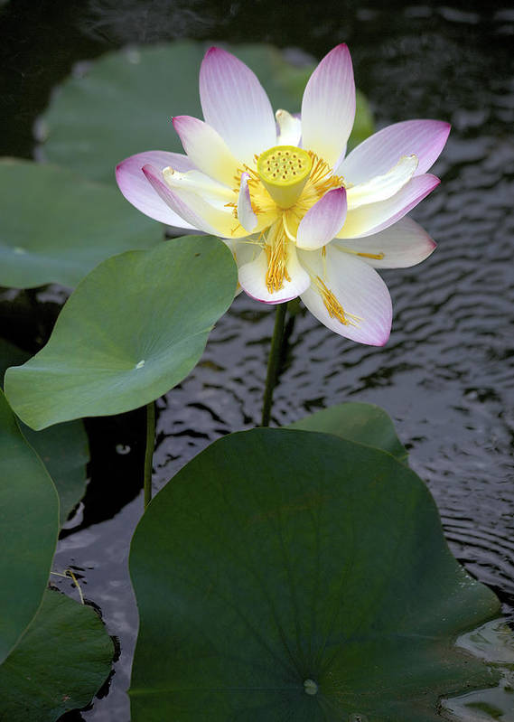 Lotus Blossom Poster featuring the photograph Greet The Day by Craig Bohanan