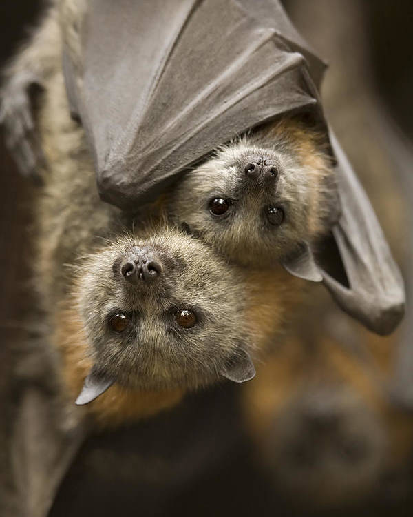 Bats Poster featuring the photograph Hang In There by Mike Dawson