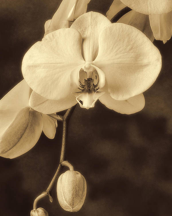 Hanging White Orchids Poster featuring the photograph Hanging Orchid by Garry Gay