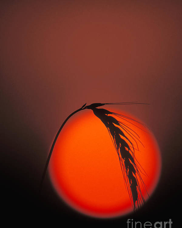 Single Poster featuring the photograph Harvest Sunset - Fs000416 by Daniel Dempster